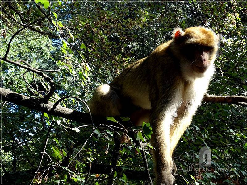 Near Azrou: Barbary macaque apes