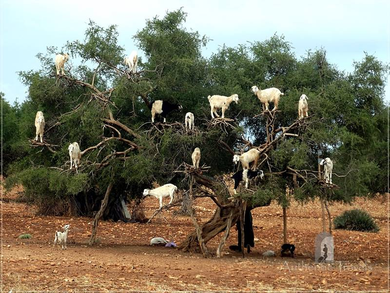 On the way from Marrakesh to Essaouira: an argan tree full of goats