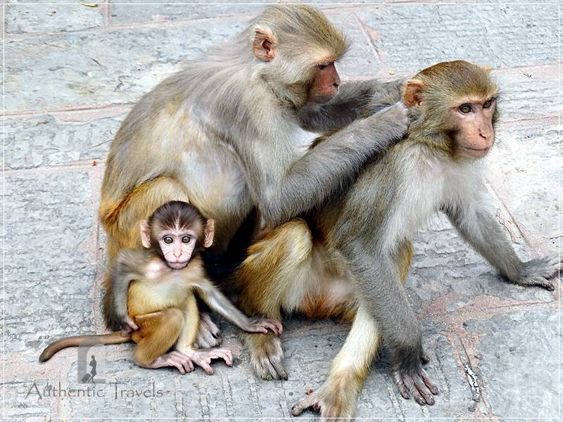 Kathmandu – Swayambhunath: the Monkey Temple with monkeys