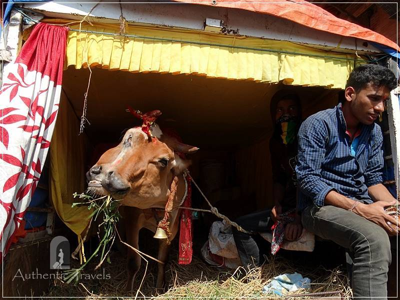 """Patan: Durbar Square - the very """"Holly Cow"""""""