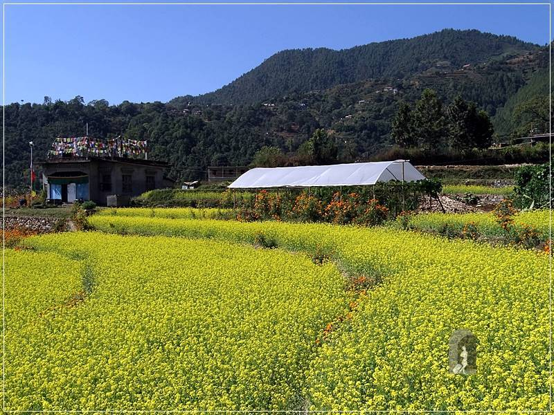 Kathmandu Valley: Pharping - through the mustard fields