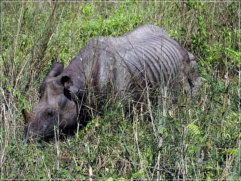 Chitwan - Sauraha: Jungle Walk - a skinny rhino eating grass. It didn't see us when we got close to it.