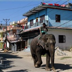 Chitwan - Sauraha: elephants walking down the street while the mahout is speaking on the phone. Something common for the everyday life in Sauraha