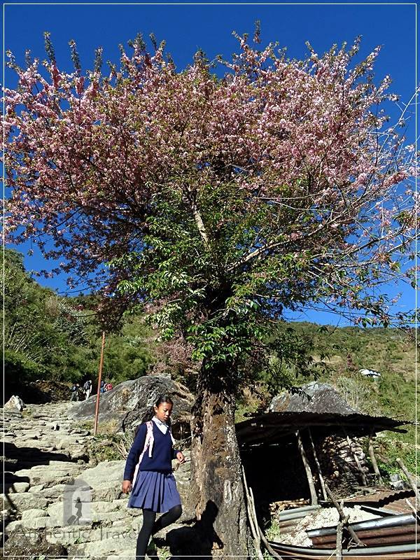 Ghorepani Trek: blooming trees and schoolgirl dressed in a local uniform