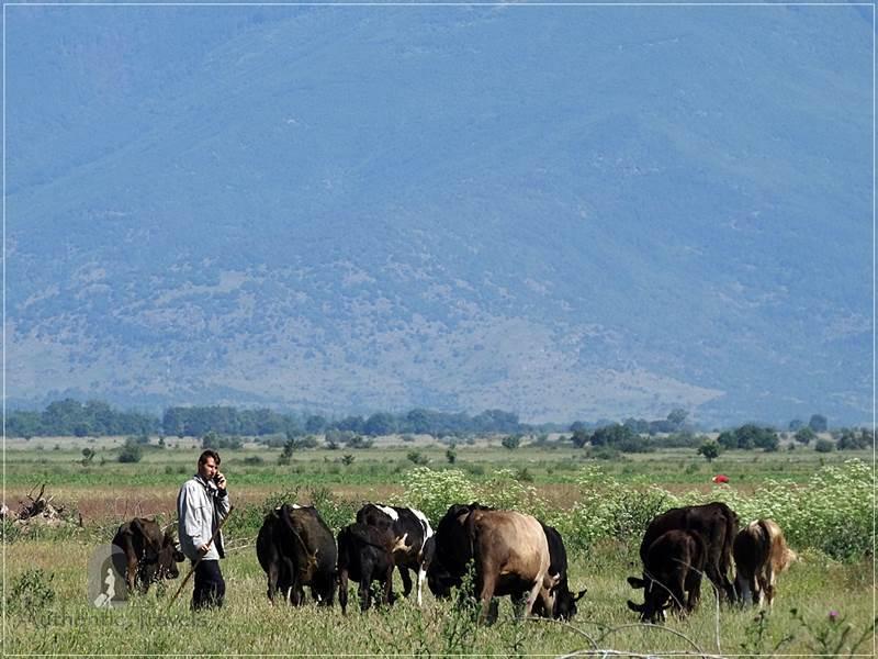 Brailovo Village - a herd of cows