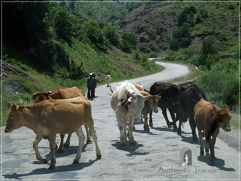 Cattle on the bad road from Korce to Leskovik